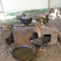 pullets and hens